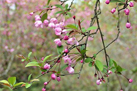 幾株垂落著紅色圓形花苞的花樹悄悄開著花,這是秀氣優雅的垂絲海棠。
