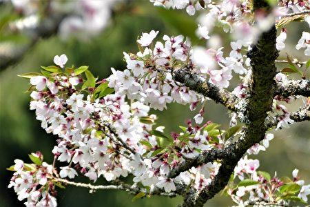 櫻王的櫻花依舊花開滿樹。