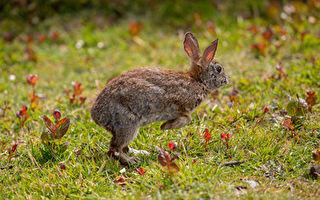 不会跳只会倒立行走 科学家发现白兔特殊基因