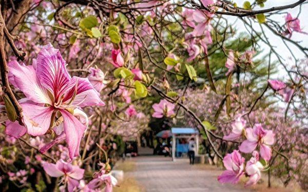 組圖:南台灣花旗木、羊蹄甲及小葉欖仁之美