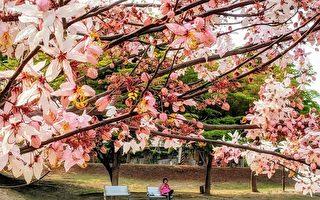 组图:南台湾花旗木、小叶榄仁及羊蹄甲之美