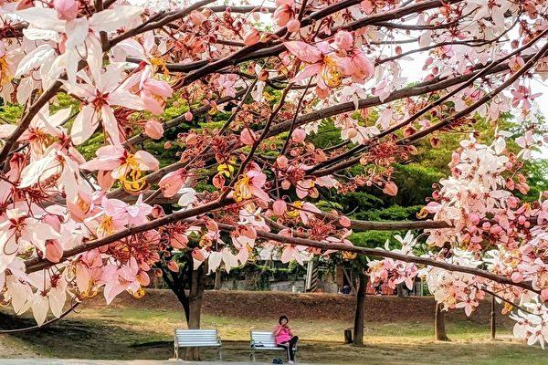 組圖:南台灣花旗木、小葉欖仁及羊蹄甲之美