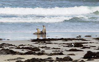 袋鼠岛10岁海狮被箭射杀 引发调查追凶