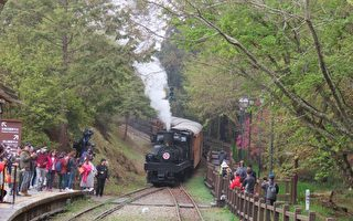 台灣阿里山櫻花季 清明連假遊客湧入