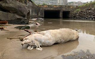 新北海漂猪验出非洲猪瘟 台湾本岛首见