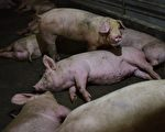 又一大陸豬企預虧25億 市值大跌逾1000億