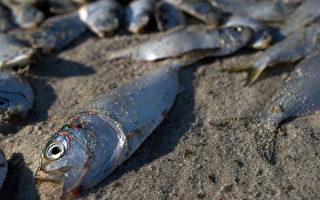 新泽西近海河道大批鱼类突发死亡