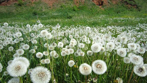 Dandelion,Field,Shutterstock,蒲公英,野草