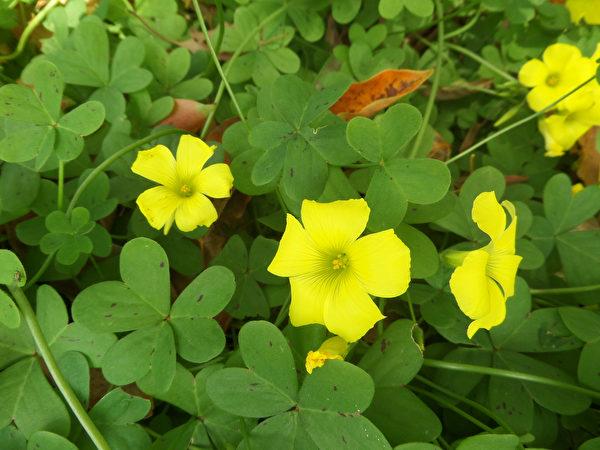 Flowering,Bermuda,Buttercup,(oxalis,Pes-caprae),Shutterstock,野草,酢浆草