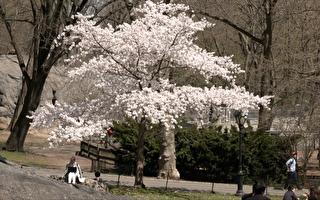 春風拂過紐約 中央公園生機勃勃