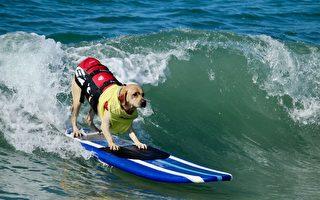 美国佛州举办小狗冲浪比赛 成复活节传统