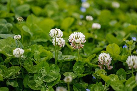 White,/,Dutch,Clover,(trifolium,Repens).,Flower,Of,The,Clover.Shutterstock,白三叶草
