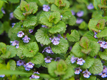Glechoma,Hederacea,Syn.,Nepeta,Glechoma,,Nepeta,Hederacea,-,Ground-ivy,,Gill-over-the-ground,Shutterstock,金钱薄荷