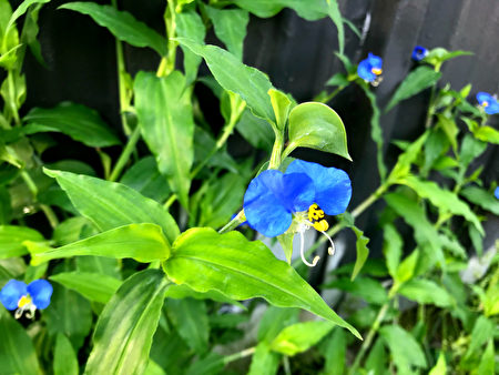 Beautiful,Asiatic,Dayflower,Blossoms.,Aesthetic