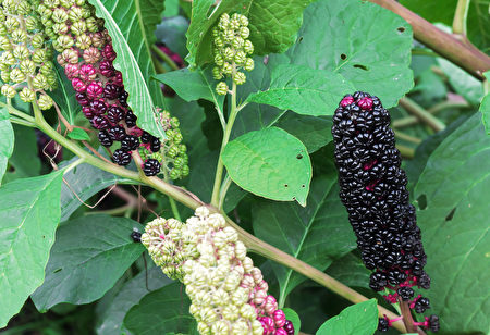 Fruits,Of,Phytolacca,Americana,,Also,Known,As,The,American,Pokeweed,野草,商陆