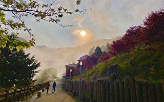 太平山游乐区内紫叶槭 春季枫红登场