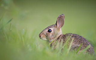 奇特兔子不會跑跳 卻會倒立行走