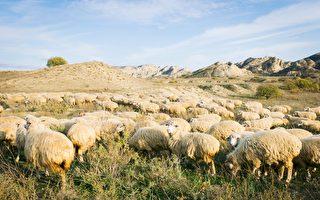 英國羊群排成神祕的「麥田圈」 令人費解