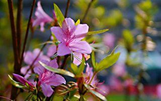 國寶級烏來杜鵑 頂福里林口溪畔復育植栽