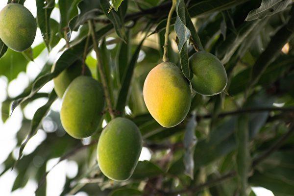 印度「芒果人」培育的果樹 會長出300種果實