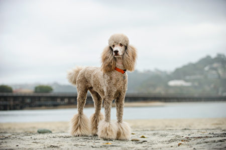 Apricot,Standard,Poodle,Dog,Portrait,At,Beach,With,Railroad,Tracks,Shutterstock,贵宾,水犬
