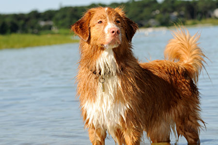 Golden,Retriever,Standing,In,The,Water.,Shutterstock,水犬