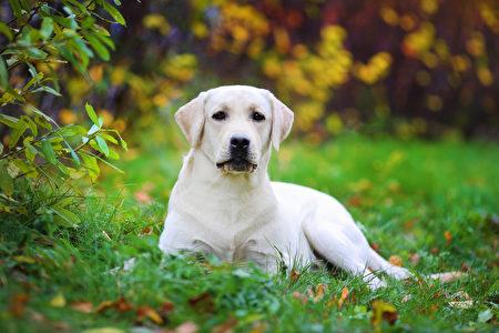 Beautiful,Labrador,Retriever,Lies,On,The,Lawn.,Blurred,Background,Shutterstock,水犬,拉不拉多