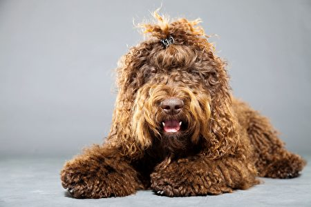 Barbet,Dog,Isolated,On,Grey,Background.,Brown,French,Water,Dog.