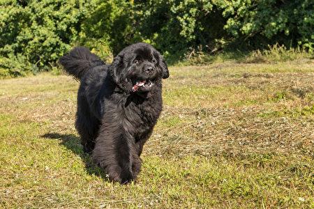 Single,Large,Black,Newfoundland,Dog,Massive,Broad,Snout.,Young,Newfoundland,Shutterstock,水犬,纽芬兰