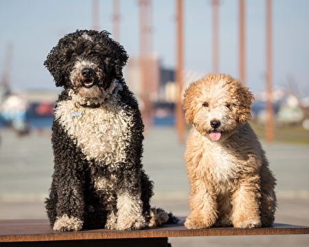 Spanish,Water,Dogs,Shutterstock,水犬,西班牙水犬