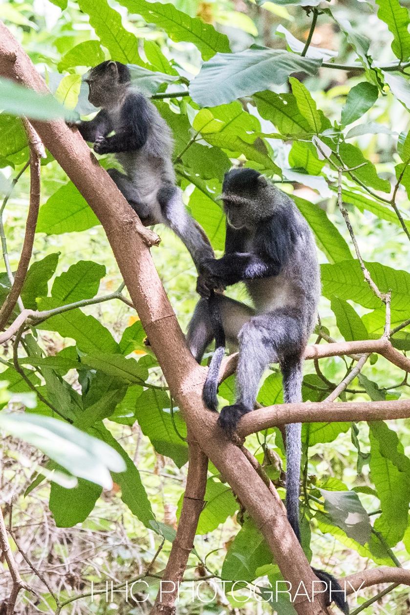 非洲, 蓝猴