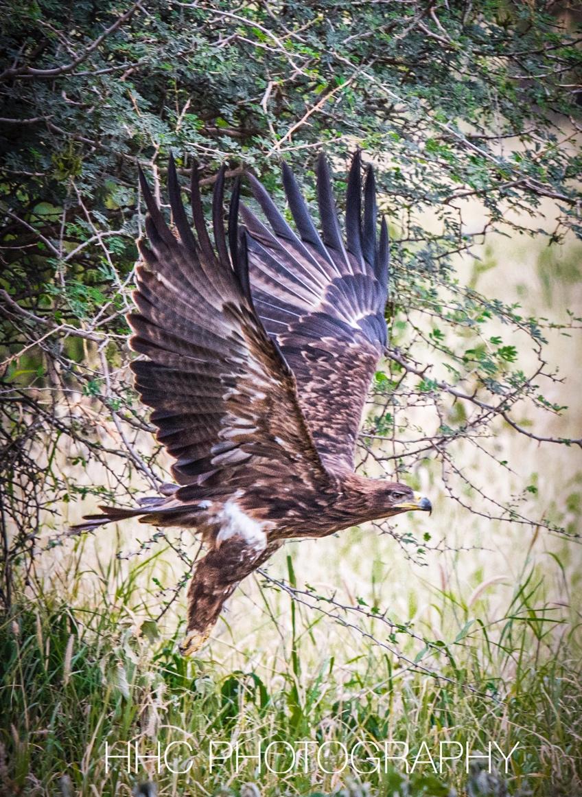 非洲, 老鹰