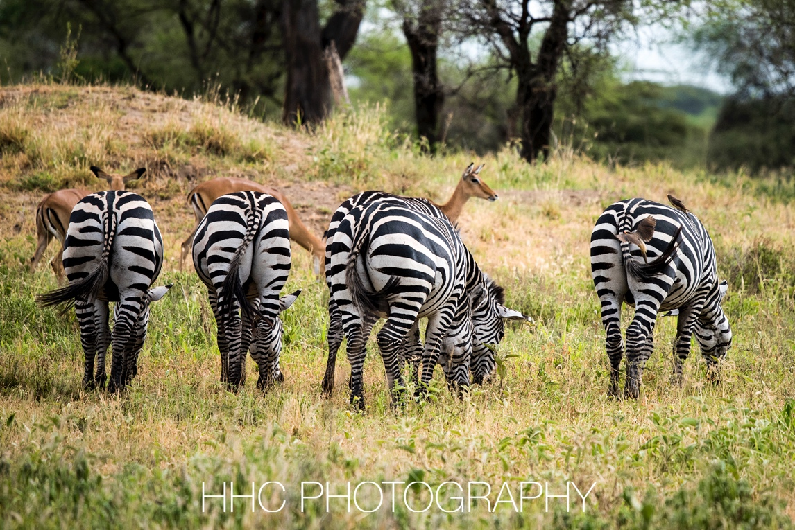 非洲, 斑马