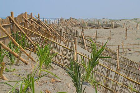 慈心基金會於窄域沙丘設置堆砂籬攔砂積沙,增加沙源。
