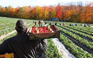 中共病毒疫情下 新澤西農民改變營銷策略