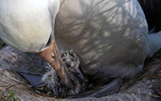 世界最长寿野鸟 70岁信天翁又生下雏鸟
