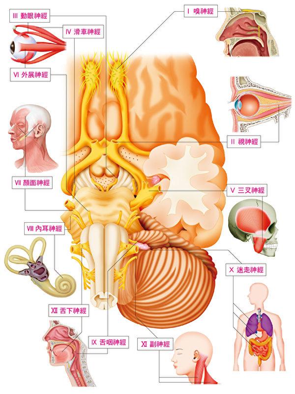 """末梢神经可谓连接中枢与全身的""""电线"""",其中出入脑部的称为脑神经。(台湾东贩提供)"""
