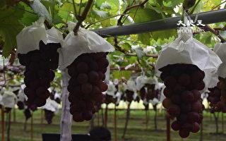 澳洲废除一带一路 出口中国葡萄遭延迟通关