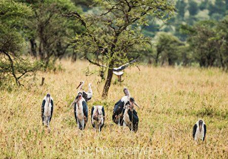 非洲, 秃鹭