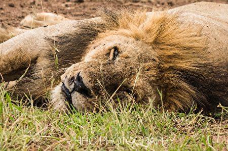 非洲, 狮子