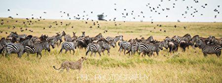非洲, 猎豹