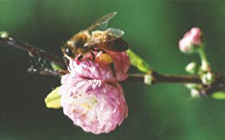 保护本地蜜蜂 堪京新区选树考虑开花季节