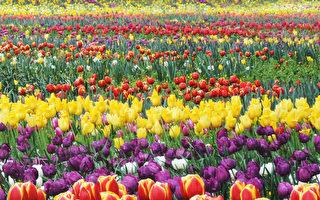 堪培拉花節將於春季開幕 重返聯邦公園