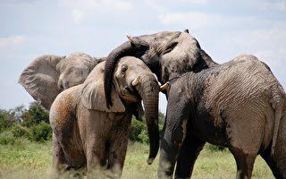 报应? 南非盗猎嫌犯 被大象活活踩死