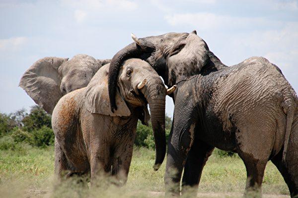 報應? 南非盜獵嫌犯 被大象活活踩死