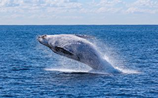 出海赏鲸正遇捕食秀 男子落海险被鲸鱼吞肚