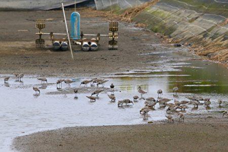 """养殖户将水位放低,让鱼塭化身为鹬、鸻科鸟类的""""大饭厅"""""""