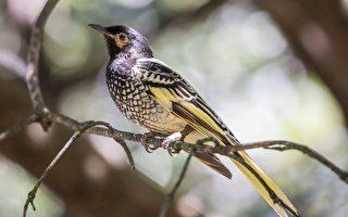 澳洲罕見鳥類忘記如何唱情歌 已瀕臨絕種