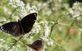 迎接紫斑蝶过境 彰化县展现两项成果