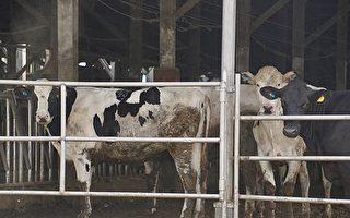苏贞昌:一周内16万头牛接种牛结节疫苗
